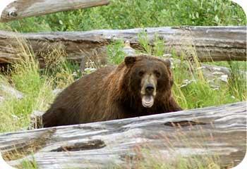 bear market alaska